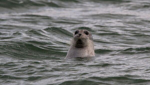 Un phoque barbu dans la mer d'Okhotsk  - Sputnik France