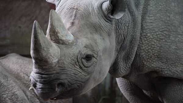 Rhinocéros noir - Sputnik France