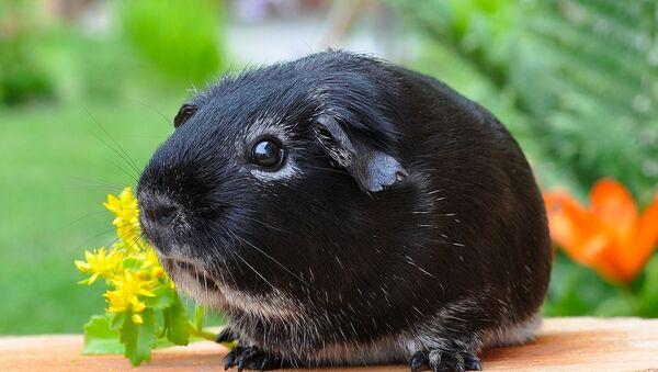 Un cochon d'Inde - Sputnik France