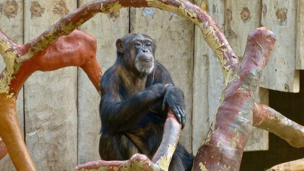 Un singe au zoo de Krefeld (archive photo) - Sputnik France
