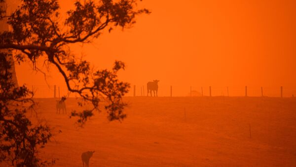 Cattle stand in a field under a red sky caused by bushfires in Greendale on the outskirts of Bega, in Australia's New South Wales state on January 5, 2020. - Sputnik France