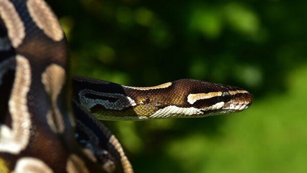 Un python - Sputnik France