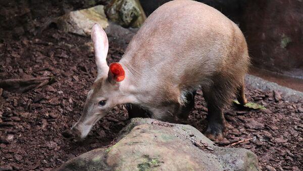 Un cochon de terre - Sputnik France