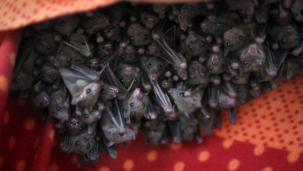 Des chauves-souris (image d'illustration) - Sputnik France