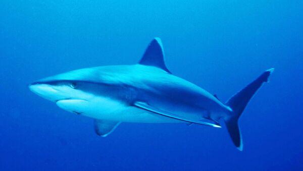 Requin pointe blanche - Sputnik France