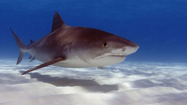 Un requin-tigre - Sputnik France