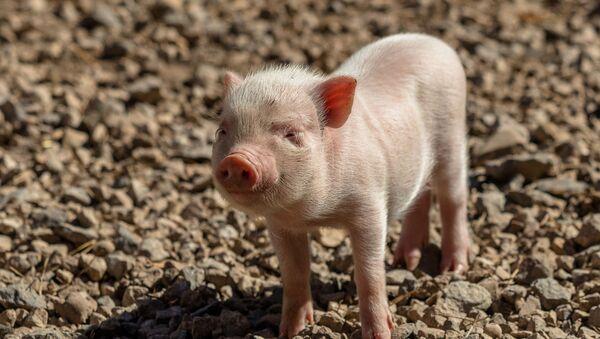 Un porc - Sputnik France
