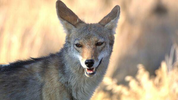 Un koyote - Sputnik France
