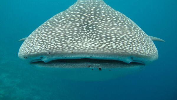 Un requin-baleine - Sputnik France