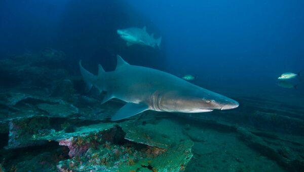 Requin tigre - Sputnik France