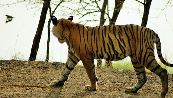 Un tigre - Sputnik France