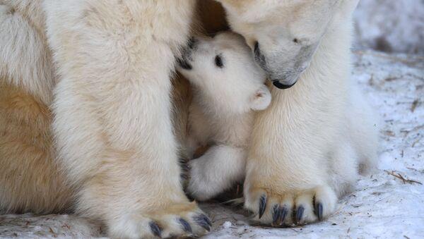 Journée internationale de l'ours polaire - Sputnik France