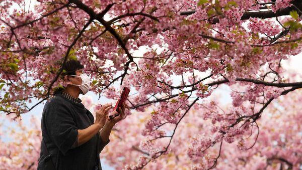 Le monde en rose: floraison des cerisiers au Japon  - Sputnik France