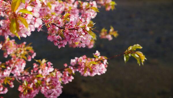 Цветение сакуры в Японии - Sputnik France