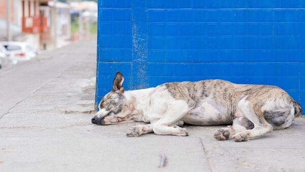 Un chien errant - Sputnik France