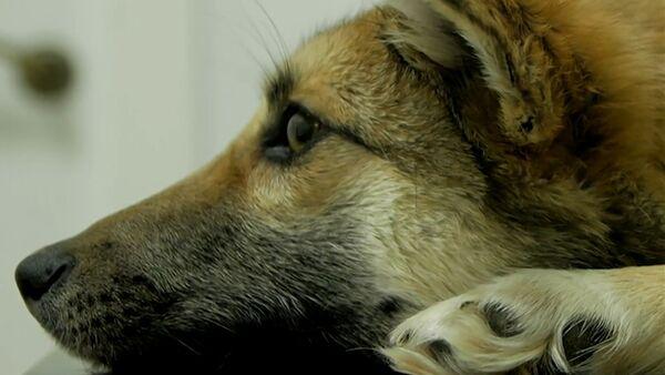 Chance inespérée: une chienne avec une corde incrustée dans le cou a été sauvée - Sputnik France