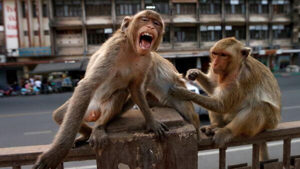 Coronavirus en Thaïlande: la ville de Lopburi occupée par des singes  - Sputnik France
