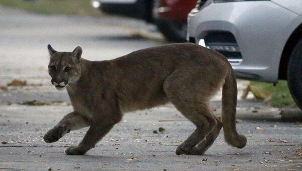 Les animaux sauvages s'aventurent dans les villes aux rues désertées à cause du Covid-19 - Sputnik France
