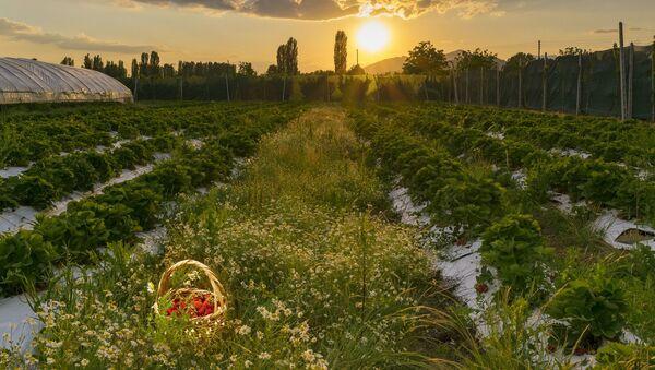 Un champ de fraises - Sputnik France