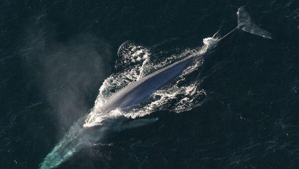 Baleine bleue. Image d'illustration - Sputnik France