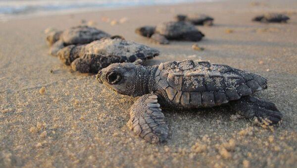 Des petites tortues  - Sputnik France