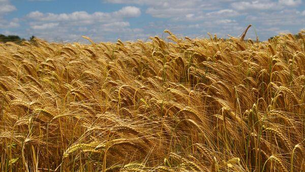 Un champ de blé dans le Loir-et-Cher - Sputnik France