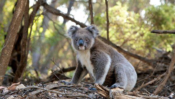 Un koala - Sputnik France