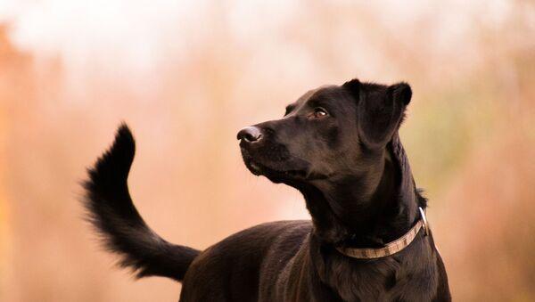 Un labrador (image d'illustraiton) - Sputnik France