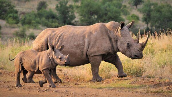 Des rhinocéros  - Sputnik France