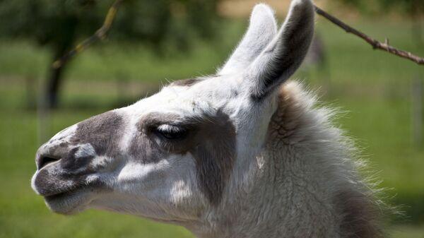 Lama - Sputnik France