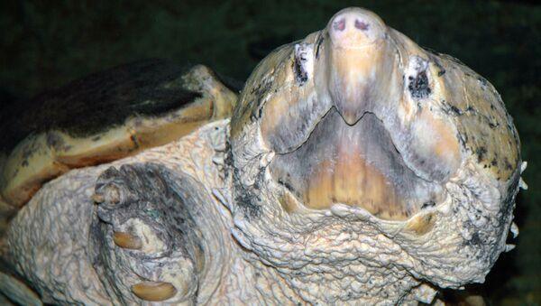 Une tortue alligator - Sputnik France