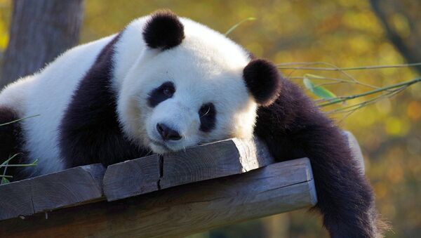 Un panda - Sputnik France