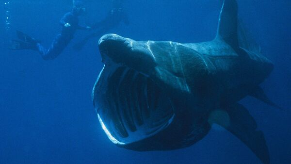 Basking shark seen next to divers - Sputnik France