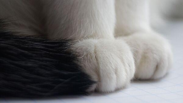 Pattes d'un chat - Sputnik France
