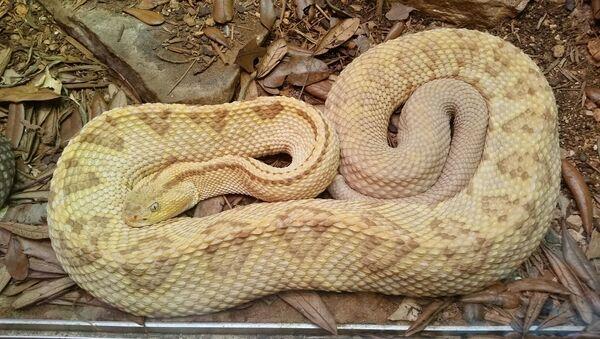 Un serpent albino - Sputnik France