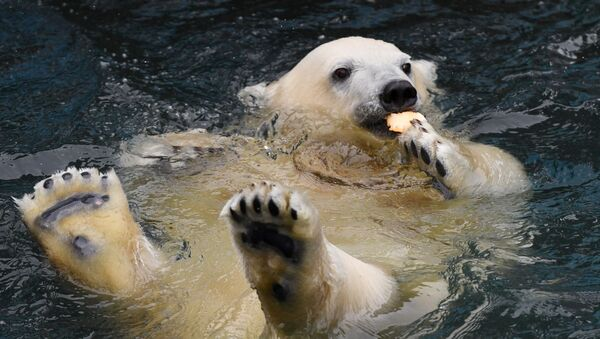 Un ours polaire - Sputnik France