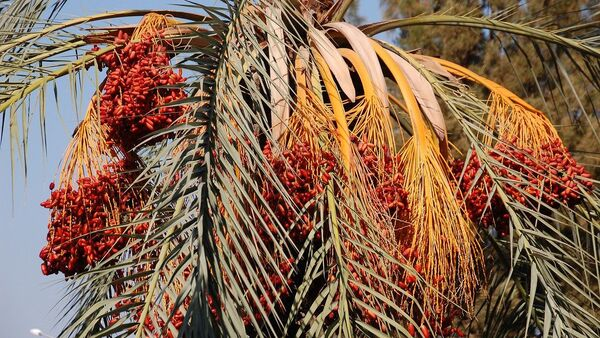palmier dattier, image d'illustration - Sputnik France