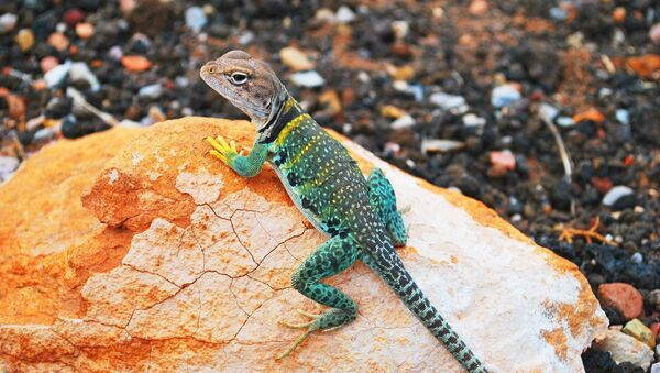 Un gecko - Sputnik France