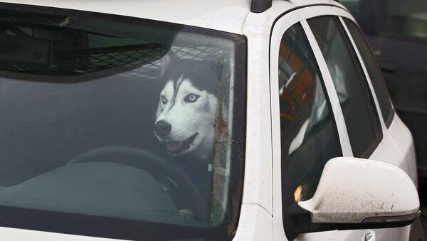 Un chien dans une voiture (image d'illustration) - Sputnik France