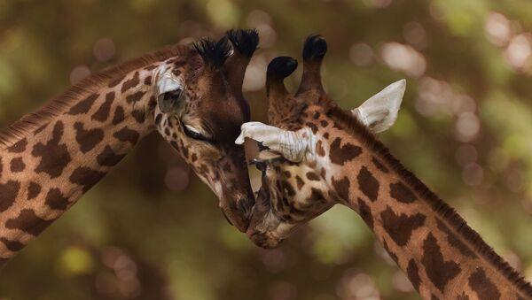 Des girafes - Sputnik France