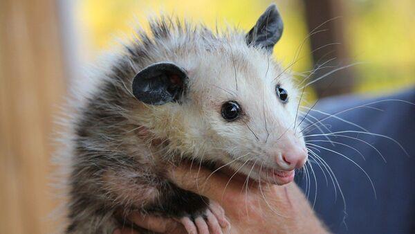 opossum - Sputnik France