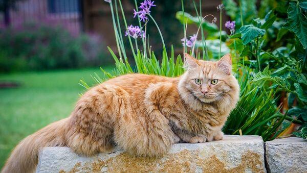 Un chat maine coon - Sputnik France