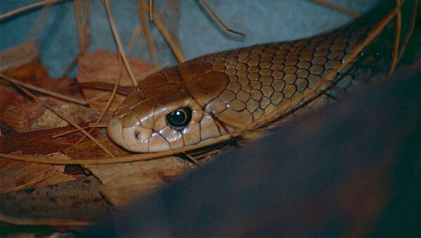 un serpent brun - Sputnik France