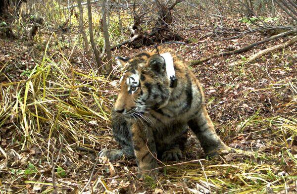 Une Fondation de sauvegarde du tigre de Sibérie voit le jour en Russie - Sputnik France