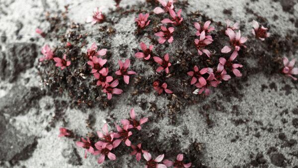 fleurs polaires - Sputnik France