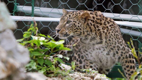 Une femelle léopard à Sotchi - Sputnik France