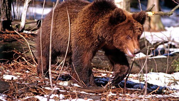 Ici c'est la Russie! Promenade matinale pour un ours dans une ville du Kamchatka (Vidéo) - Sputnik France