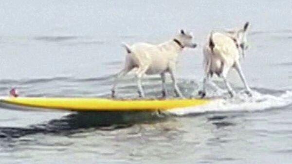 Une chèvre et son petit font du surf en Californie - Sputnik France