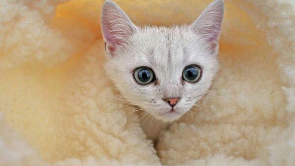 Un chat persan voyageur et nageur, nouvelle vedette des réseaux sociaux - Sputnik France