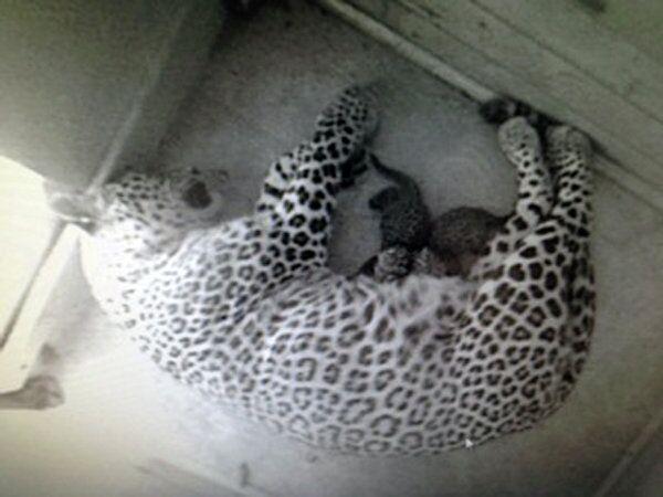 Russie: deux bébés léopards naissent dans le parc national de Sotchi - Sputnik France